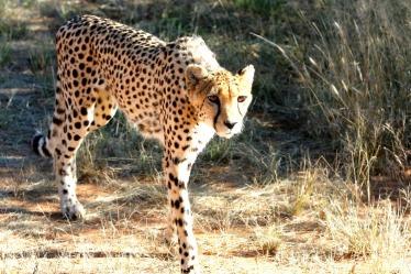 cheetah-2042448_1280 B