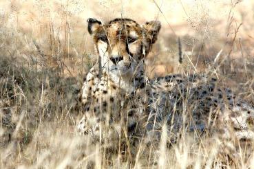 cheetah-2042458_1280 B